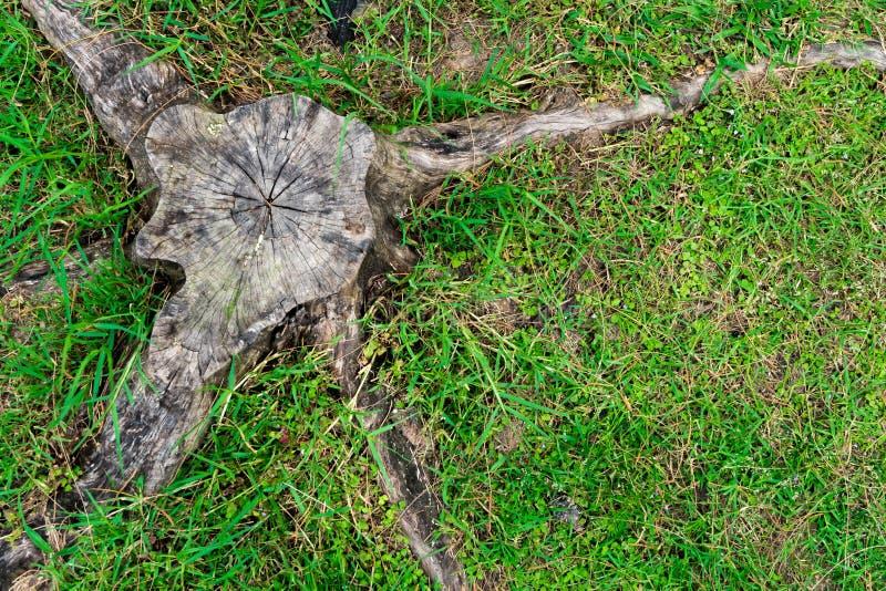 Tocón de árbol en hierba verde Corte de árboles Rescate el bosque fotos de archivo libres de regalías
