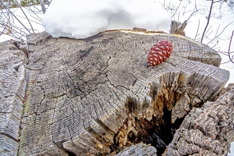 Tocón de árbol en invierno con un cono del pino fotos de archivo libres de regalías