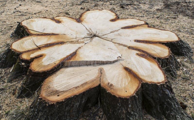 Tocón de árbol fresco foto de archivo