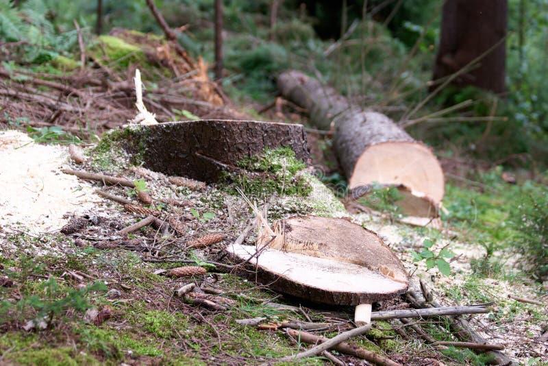 Tocón de árbol fresco en bosque imagenes de archivo