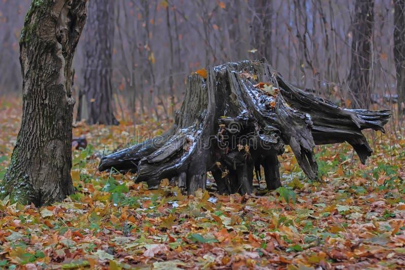 Tocón de árbol pintoresco en el bosque fotos de archivo