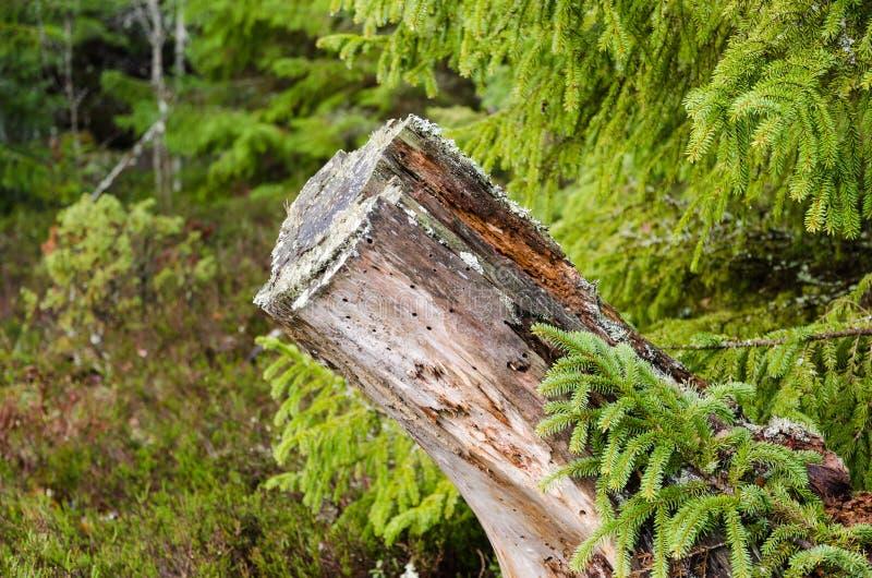 Tocón de árbol putrefacto viejo imágenes de archivo libres de regalías