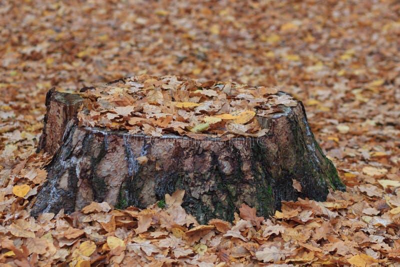 Tocón de árbol putrefacto viejo en el humor del otoño del bosque del otoño Concepto el marchitar y de la putrefacción imagenes de archivo