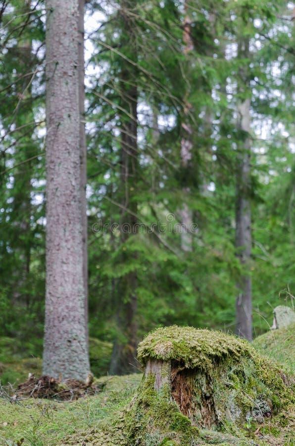 Tocón de árbol viejo cubierto de musgo foto de archivo libre de regalías