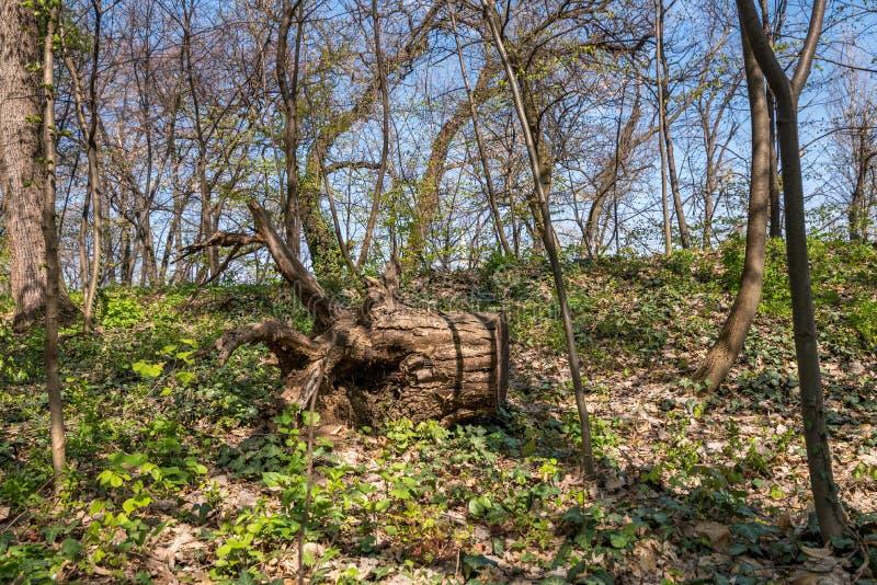 Tocón o tronco putrefacto grande de árbol en el bosque del arbolado cubierto con luz del sol de oro en primavera temprana en cier foto de archivo
