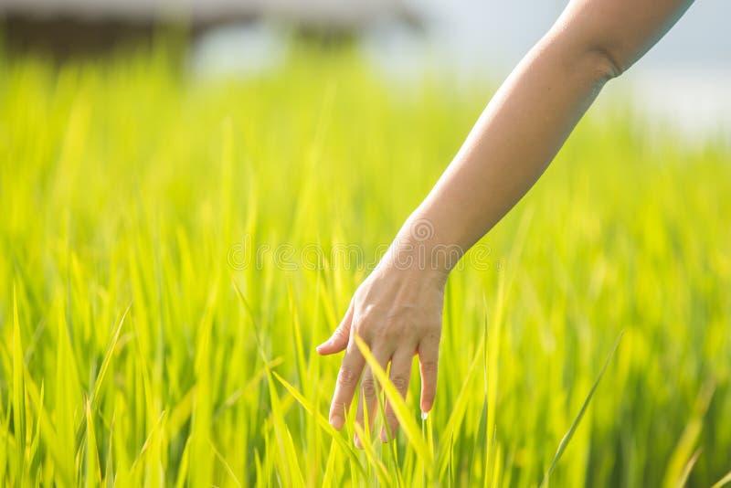 Tocco della donna della mano nel giacimento di grano immagini stock