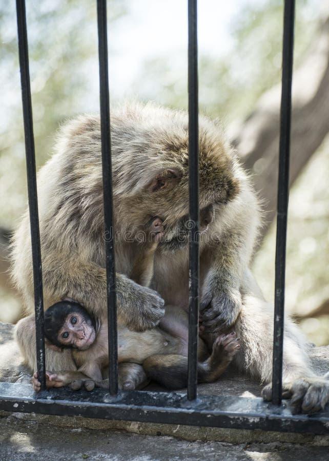 Baby monkey fotografia stock