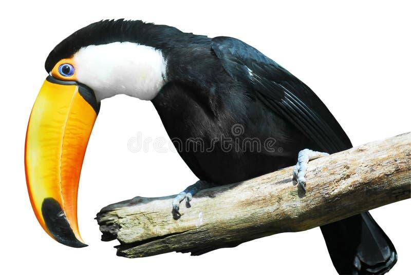 Toco isolato toucan immagine stock