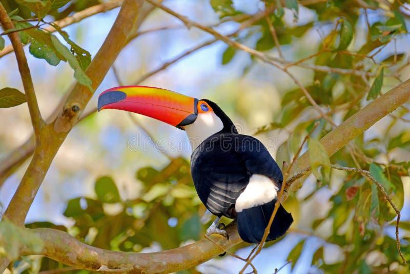Toco pieprzojad, Ramphastos Toco, także znać jako Pospolity pieprzojad, Gigantyczny pieprzojad, Iguazu lub Iguacu, Brazylia zdjęcia stock