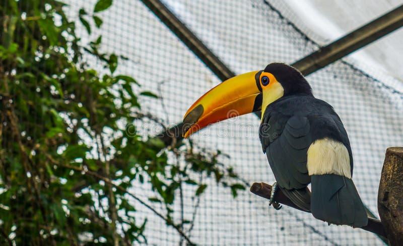 Toco pieprzojad siedzi gałąź w wolierze, kolorowy tropikalny ptak od Ameryka zdjęcie stock