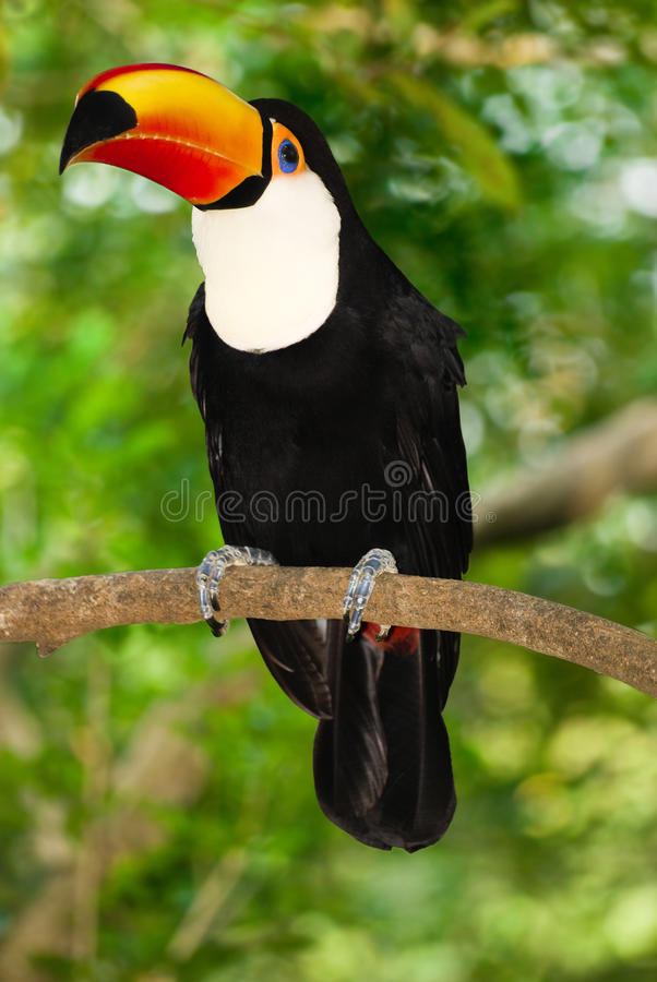 Toco toucan photographie stock