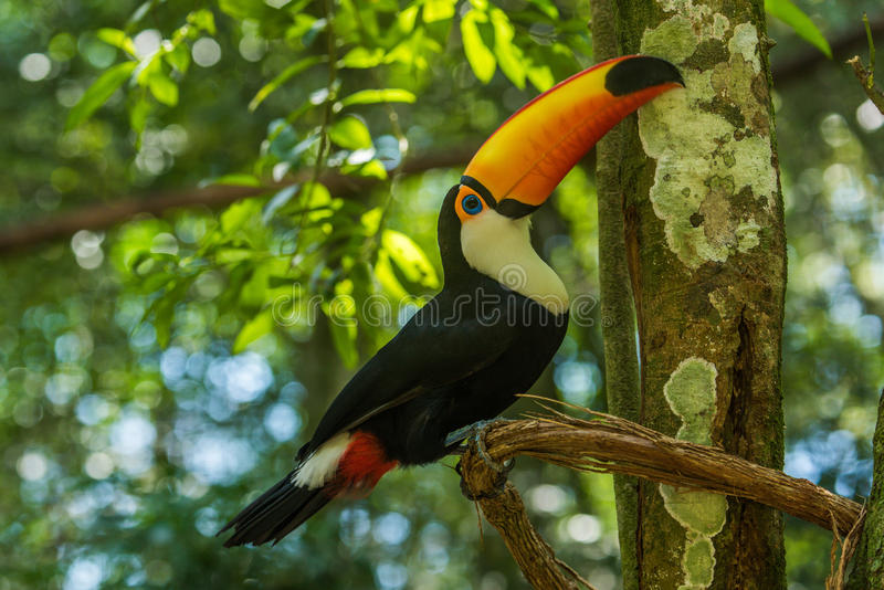 Toco toucan on branch lifting up beak royalty free stock photography