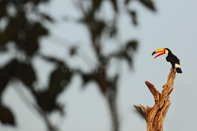 Toco Toucan, großer Vogel mit offener orange Rechnung, Tier im Naturlebensraum, Pantanal, Brasilien lizenzfreie stockbilder