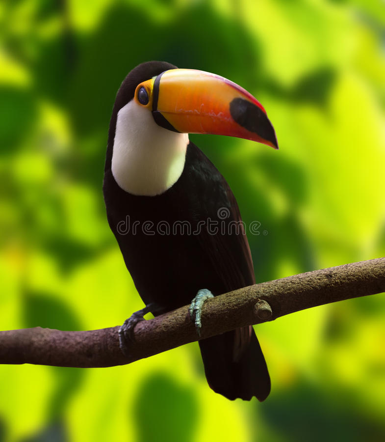 Toco Toucan (Ramphastos toco) royalty free stock image