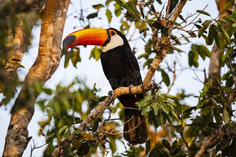 Toco Toucan selvaggio circondato dai rami, alla luce di mattina immagine stock