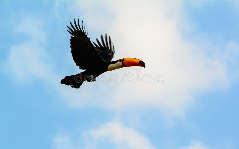 Toco Toucan in volo fotografia stock