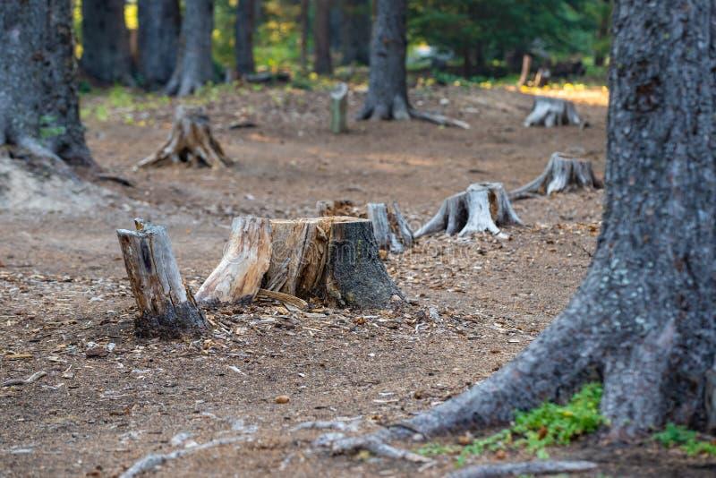 Tocones de árbol en el bosque foto de archivo