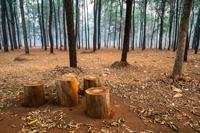 Tocones de árbol usados como asientos en bosque del árbol de pino foto de archivo libre de regalías