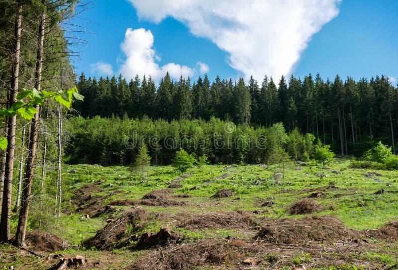 Tocones de madera de pino, árboles verdes jovenes, bosque viejo del pino en el fondo imagenes de archivo