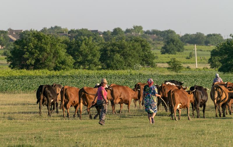 TOCUZ, MOLDOVA - JUNE 1, 2018: Cowherd walking cows home in the evening in Moldova stock photography