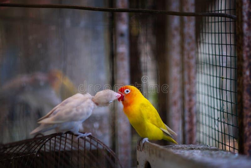 Toda sobre o amor tão bonito sempre, papagaio amarelo-branco bonito imagem de stock