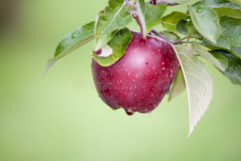 Todavía Apple fresco en árboles foto de archivo libre de regalías