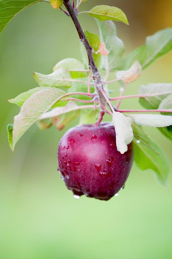 Todavía Apple fresco en árboles foto de archivo