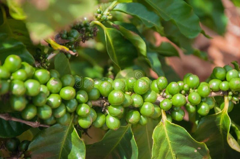 Todavía granos de café verdes en la rama en una granja en Kauai, Hawaii imágenes de archivo libres de regalías