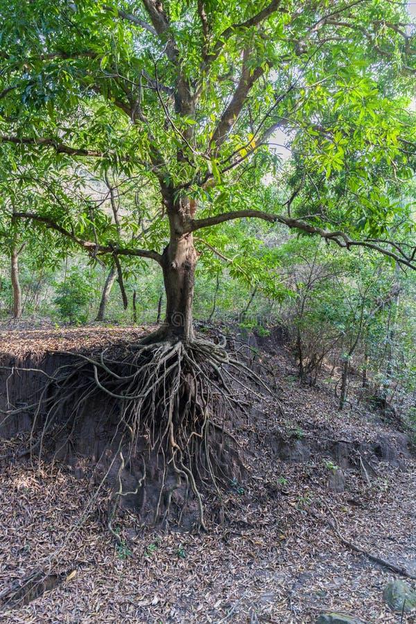 Todavía un árbol verde, pero ya falto de suelo bajo raíces debido a la erosión de suelo causada por actividad humana imagen de archivo