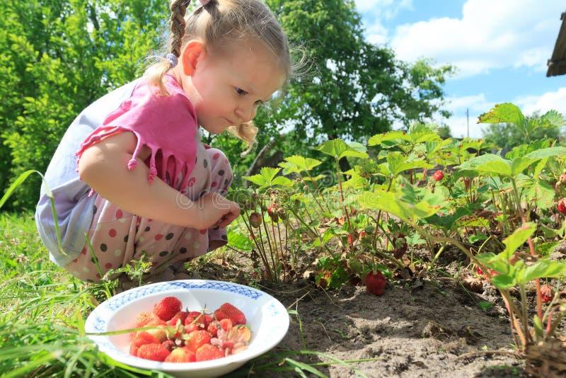 Toddler blonde girl picking home-grown garden strawberries on outdoor garden bed stock images