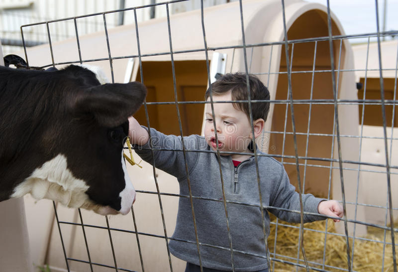 Toddler Boy Petting A Calf Royalty Free Stock Photos