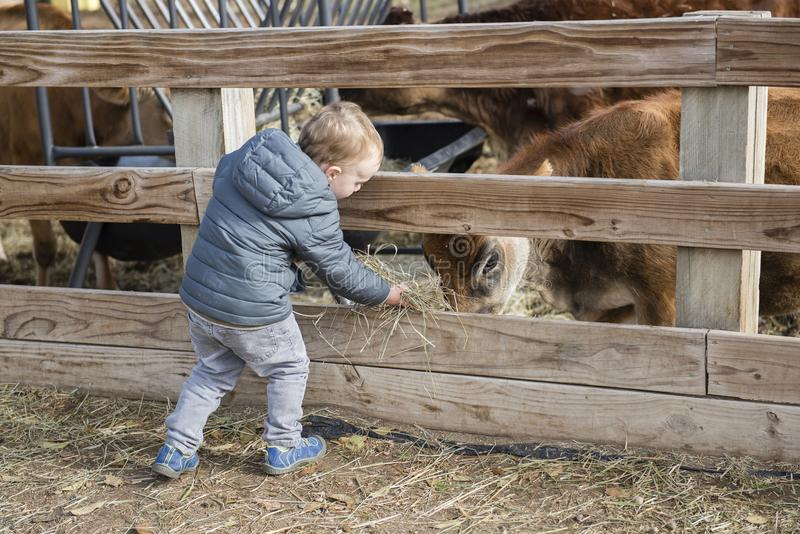 Toddler Boy Visiting a Local Urban Farm and Feeding the Cows wit. H Hay stock image