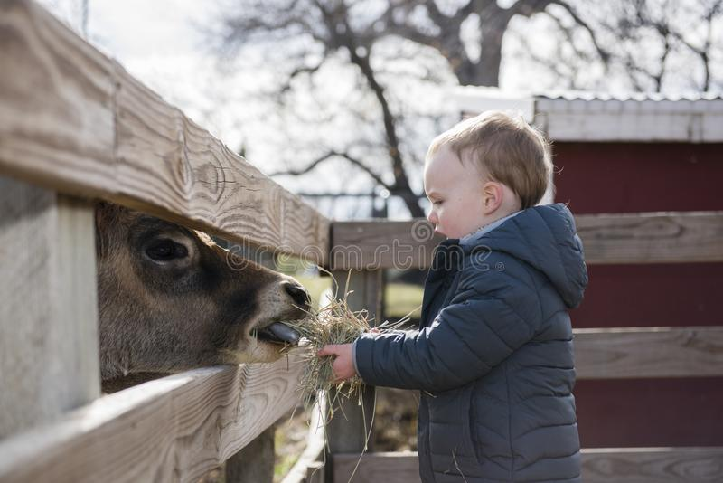 Toddler Boy Visiting a Local Urban Farm and Feeding the Cows wit. H Hay royalty free stock photos
