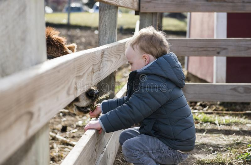 Toddler Boy Visiting a Local Urban Farm and Feeding the Cows wit. H Hay royalty free stock photo