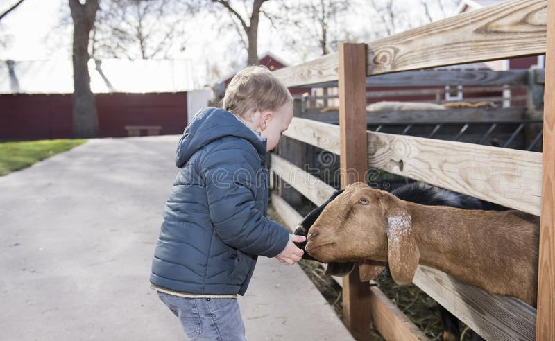 Toddler Boy Visiting a Local Urban Farm and Feeding the Goats. With Feed stock photography