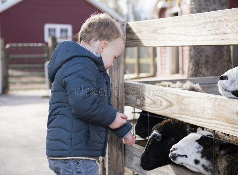 Toddler Boy Visiting a Local Urban Farm and Feeding the Goats. With Feed royalty free stock image