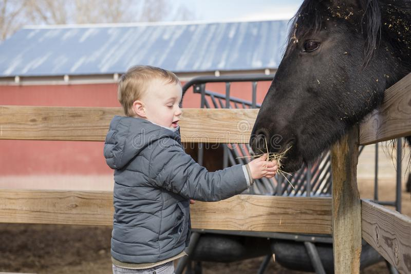 Toddler Boy Visiting a Local Urban Farm and Feeding the Horses. With Hay. Smiling & Laughing stock images