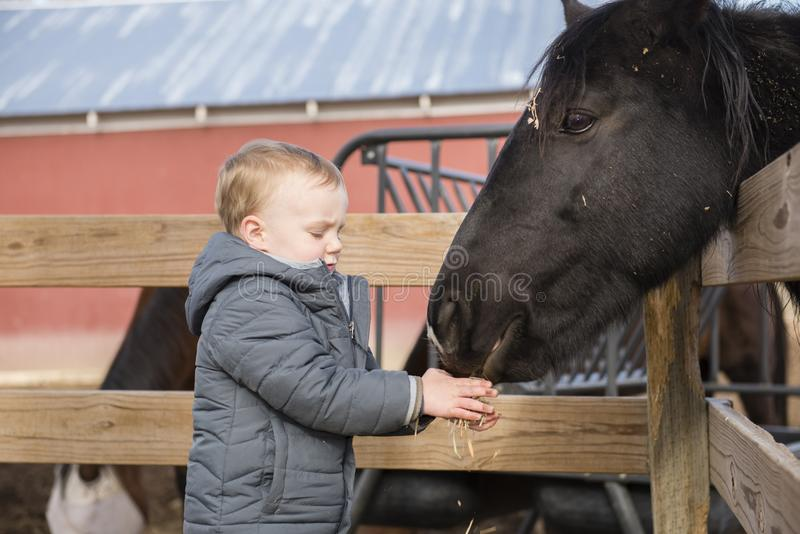 Toddler Boy Visiting a Local Urban Farm and Feeding the Horses w. Ith Hay. Smiling & Laughing royalty free stock photos