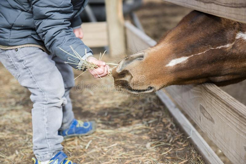 Toddler Boy Visiting a Local Urban Farm and Feeding the Horses w. Ith Hay royalty free stock image