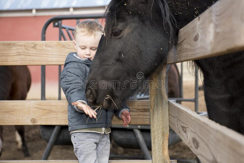 Toddler Boy Visiting a Local Urban Farm and Feeding the Horses. With Hay. Smiling & Laughing royalty free stock images