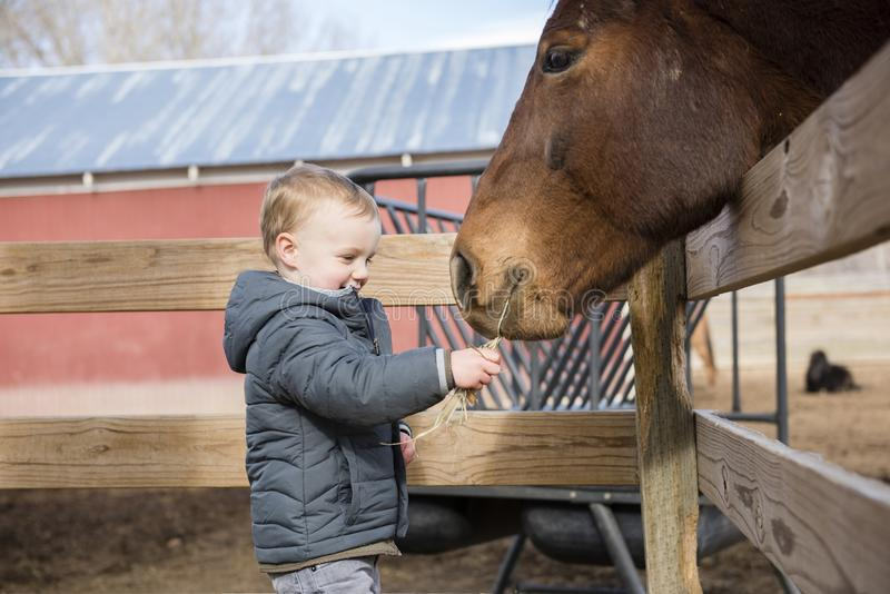 Toddler Boy Visiting a Local Urban Farm and Feeding the Horses w. Ith Hay. Smiling & Laughing royalty free stock image