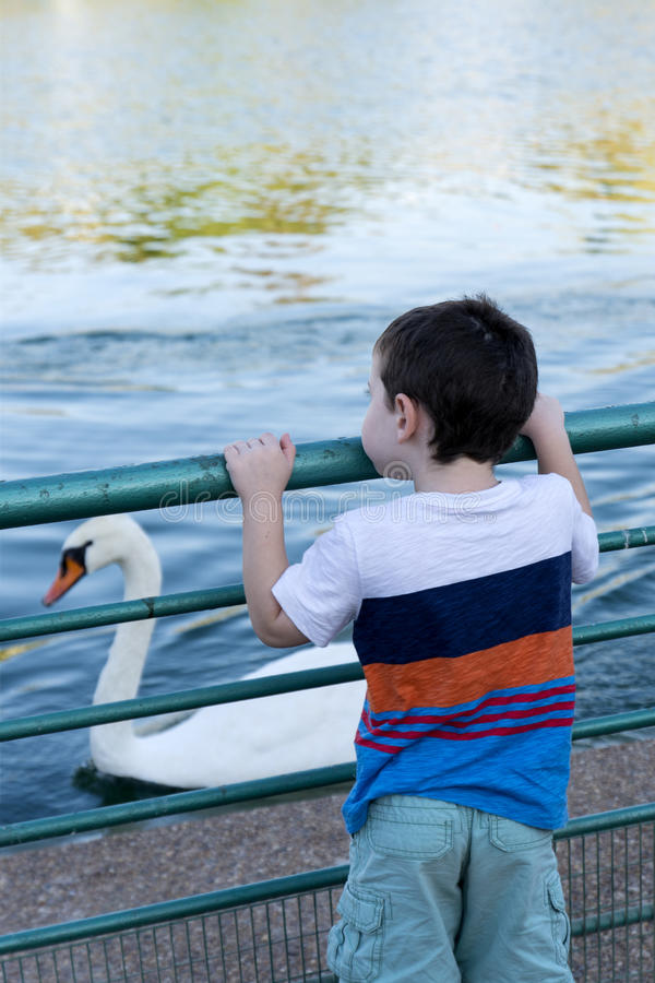 Toddler looking at a white swan royalty free stock image
