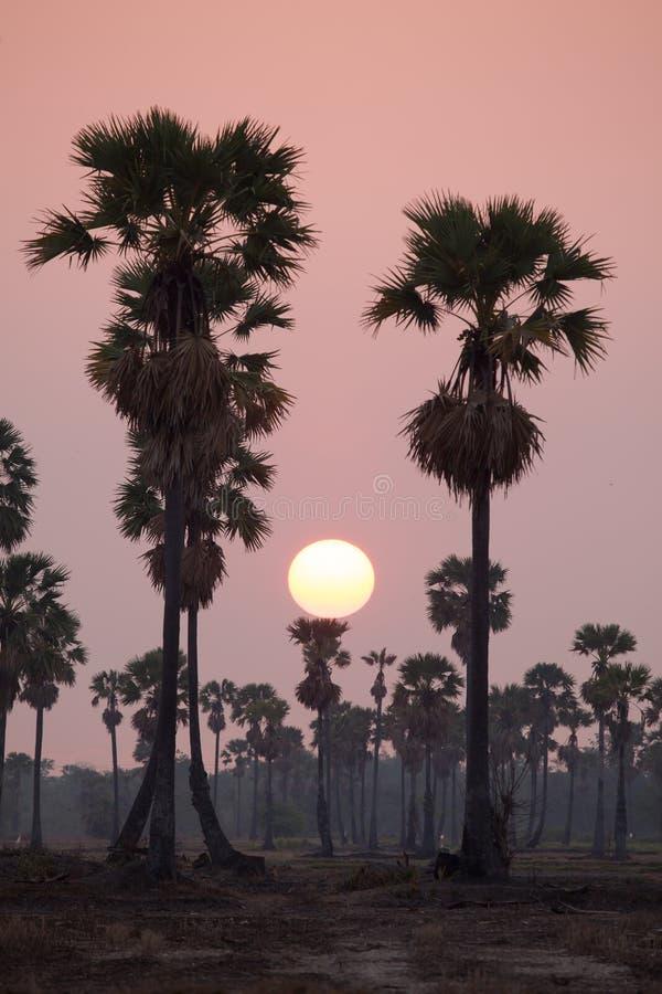 Toddy силуэта глубины поля или пальма сахара на поле в t стоковое фото
