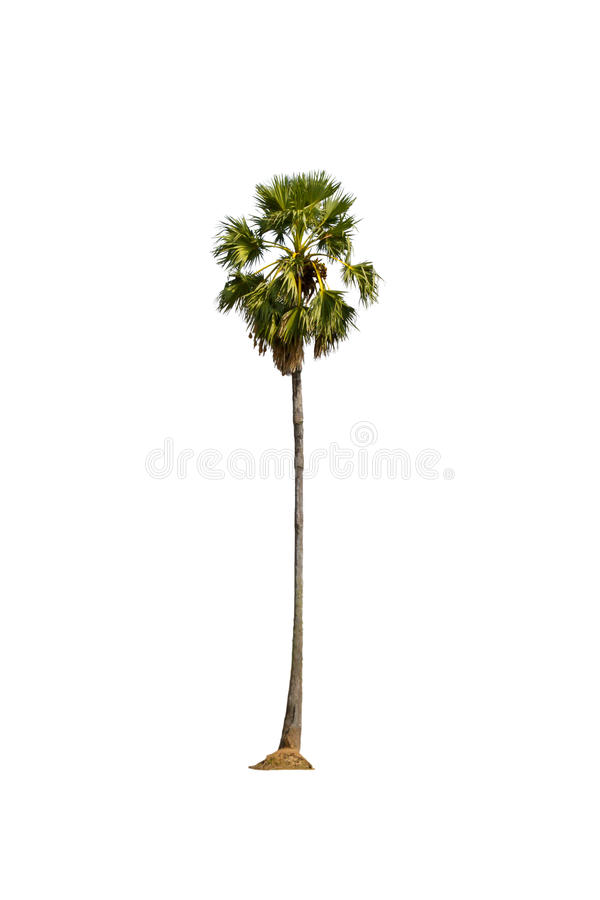 Toddy palm royalty free stock photo