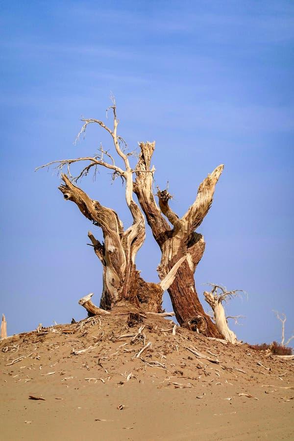 Todgoldener Populus im Herbst lizenzfreies stockfoto