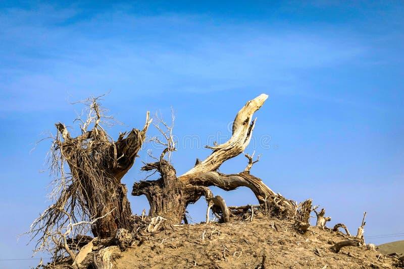 Todgoldener Populus im Herbst lizenzfreie stockbilder