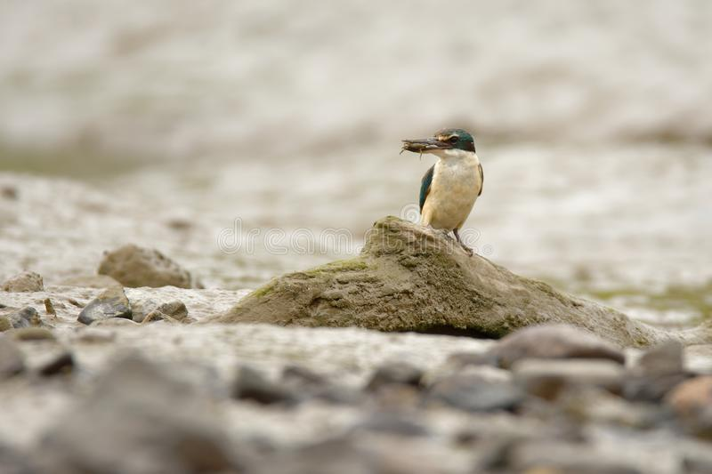 Todiramphus sanctus - Sacred kingfisher - kotare small kingfisher from New Zealand, Thailand, Asia. Hunting crabs, frogs, fish in. Low tide stock photo