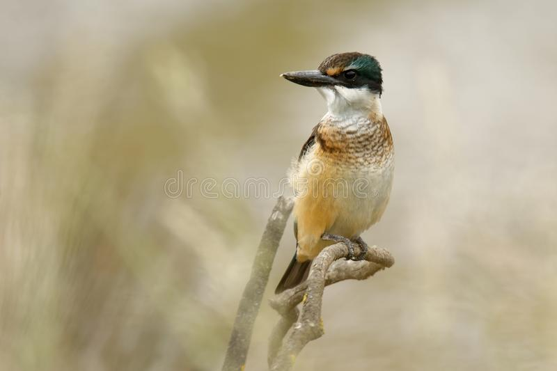 Todiramphus sanctus - Sacred kingfisher - kotare small kingfisher from New Zealand, Thailand, Asia. Hunting crabs, frogs, fish in. Low tide stock image