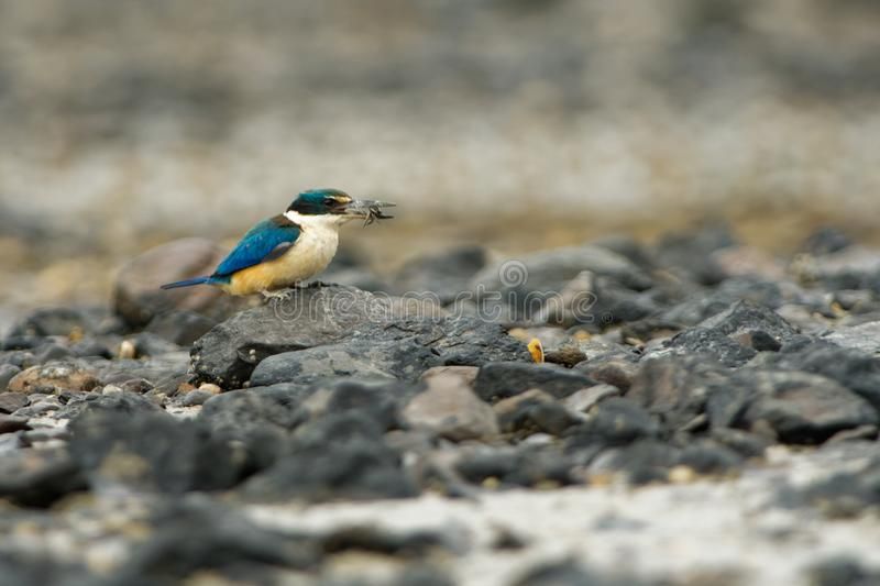 Todiramphus sanctus - Sacred kingfisher - kotare small kingfisher from New Zealand, Thailand, Asia. Hunting crabs, frogs, fish in. Low tide royalty free stock photos