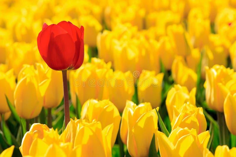 Todos los tulipanes amarillos un rojo foto de archivo
